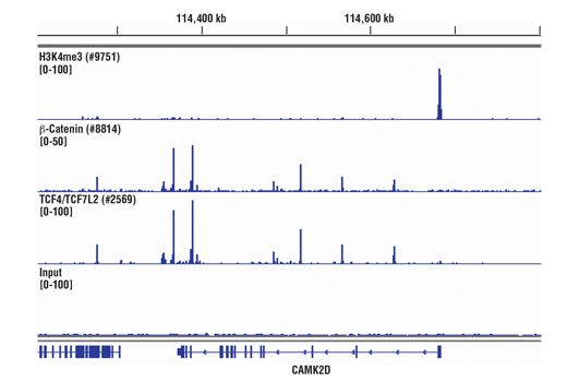FIGURE 1. Chromatin immunoprecipitations were performed with cross-linked chromatin from HCT 116 cells and either Tri-Methyl-Histone H3 (Lys4) (C42D8) Rabbit mAb #9751, Non-phospho (Active) β-Catenin (Ser33/37/Thr41) (D13A1) Rabbit mAb #8814, or TCF4/TCF7L2 (C48H11) Rabbit mAb #2569 using SimpleChIP<sup>®</sup> Plus Sonication Chromatin IP Kit #56383. DNA Libraries were prepared using SimpleChIP<sup>®</sup> ChIP-seq DNA Library Prep Kit for Illumina<sup>® </sup>#56795. The figure shows binding across CAMK2D, a known target gene of H3K4me3, TCF4/TCF7L2, and β-Catenin.
