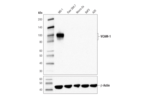 Western blot analysis of extracts from various cell lines using VCAM-1 (D2T4N) Rabbit mAb (Mouse Specific) (upper) or β-Actin (D6A8) Rabbit mAb #8457 (lower).