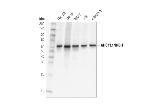 Western blot analysis of extracts from various cell lines using AHCYL1/IRBIT (D3A5G) Rabbit mAb.