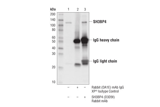 Immunoprecipitation of SH3BP4 from HeLa cell extracts. Lane 1 is 10% input, lane 2 is Rabbit (DA1E) mAb IgG XP<sup>®</sup> Isotype Control #3900, and lane 3 is SH3BP4 (D3D9I) Rabbit mAb. Western blot analysis was performed using SH3BP4 (D3D9I) Rabbit mAb.