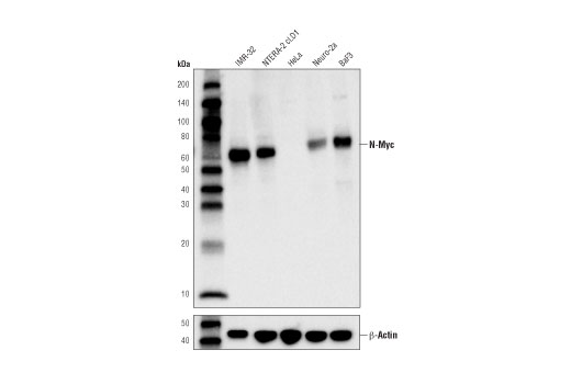 Western blot analysis of extracts from various cell lines using N-Myc (D4B2Y) Rabbit mAb (upper) or β-Actin (D6A8) Rabbit mAb #8457 (lower).