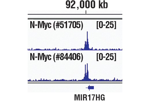Chromatin immunoprecipitations were performed with cross-linked chromatin from IMR-32 cells and either N-Myc (D4B2Y) Rabbit mAb or N-Myc (D1V2A) Rabbit mAb #84406, using SimpleChIP<sup>®</sup> Plus Enzymatic Chromatin IP Kit (Magnetic Beads) #9005. DNA Libraries were prepared using SimpleChIP<sup>®</sup> ChIP-seq DNA Library Prep Kit for Illumina<sup>®</sup> #56795. The figure shows binding across MIR17HG, a known target gene of N-Myc (see additional figure containing ChIP-qPCR data). For additional ChIP-seq tracks, please download the product data sheet.