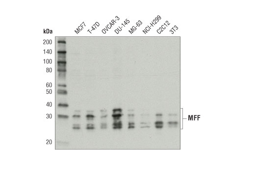 Western blot analysis of extracts from various cell lines using MFF Antibody.