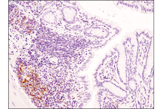 Immunohistochemical analysis of paraffin-embedded mouse colon using CD4 (D7D2Z) Rabbit mAb.