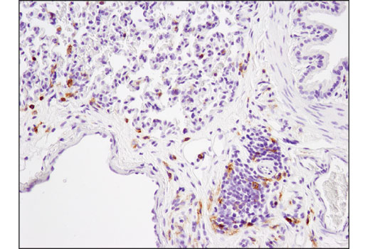 Immunohistochemical analysis of paraffin-embedded rat lung using CD4 (D7D2Z) Rabbit mAb.