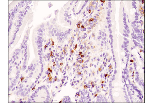 Immunohistochemical analysis of paraffin-embedded mouse small intestine using CD4 (D7D2Z) Rabbit mAb.
