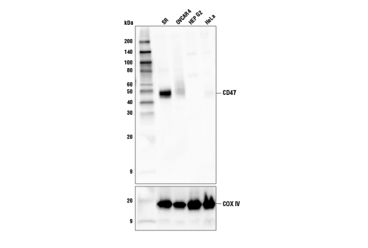 Western blot analysis of extracts from various cell lines using CD47 (D3O7P) Rabbit mAb (upper) or COX IV (3E11) Rabbit mAb #4850 (lower).