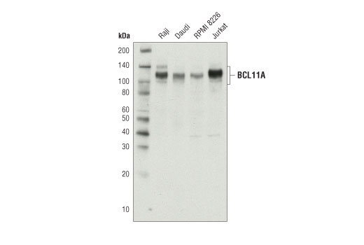 Monoclonal Antibody Western Blotting Collateral Sprouting