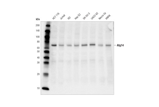 Western blot analysis of extracts from various cell lines using Atg14 (D1A1N) Rabbit mAb.