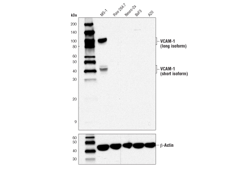 Western blot analysis of extracts from various cell lines using VCAM-1 (D8U5V) Rabbit mAb (Mouse Specific) (upper) or β-Actin (D6A8) Rabbit mAb #8457 (lower).