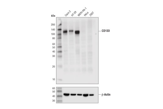 Western blot analysis of extracts from various cell lines using CD133 (D4W4N) XP<sup>®</sup> Rabbit mAb (upper) and β-Actin (D6A8) Rabbit mAb #8457 (lower).