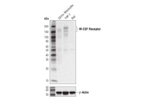 Western blot analysis of extracts from human CD14+ Monocytes, THP-1, and Raji cells using M-CSF Receptor (D3O9X) XP<sup>®</sup> Rabbit mAb (upper) and β-Actin (D6A8) Rabbit mAb #8457 (lower). CD14+ Monocytes were purified from human blood.