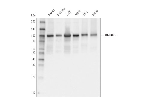 Monoclonal Antibody - MAP4K3 (D1L4G) Rabbit mAb - Immunoprecipitation, Western Blotting, UniProt ID Q8IVH8, Entrez ID 8491 #92427 - Primary Antibodies