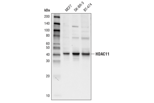 Monoclonal Antibody Western Blotting Transcription Factor Binding