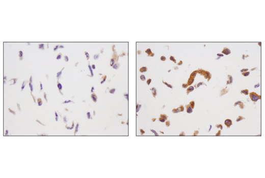 Immunohistochemical analysis of paraffin-embedded NCI-H2228 cell pellets, untreated (left) or phenformin-treated (right), using Phospho-AMPKα (Thr172) (D4D6D) Rabbit mAb.