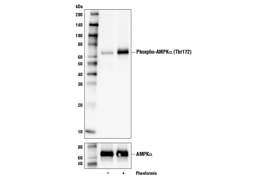 Western blot analysis of extracts from serum-starved NCI-H2228 cells, untreated (-) or treated with phenformin (5 mM, 1 hr; +), using Phospho-AMPKα (Thr172) (D4D6D) Rabbit mAb (upper) or AMPKα (D63G4) Rabbit mAb #5832 (lower).