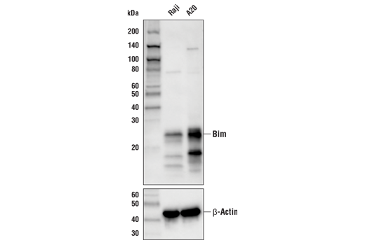 Western blot analysis of extracts from Raji and A20 cells using Bim (C34C5) Rabbit mAb (Biotinylated) (upper) and β-Actin (D6A8) Rabbit mAb #8457 (lower).
