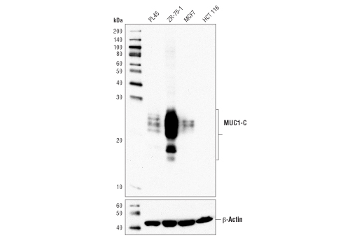Western blot analysis of extracts from various cell lines using MUC1-C (D5K9I) XP<sup>®</sup> Rabbit mAb (upper) or β-Actin (D6A8) Rabbit mAb #8457 (lower).