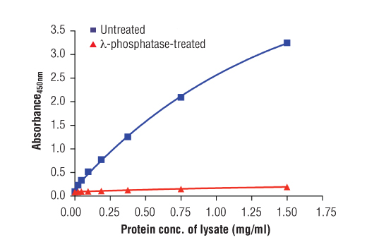 Figure 2: The relationship between protein concentration of lysates from untreated and λ-phosphatase-treated Hep G2 cells and the absorbance at 450 nm is shown. Unstarved Hep G2 cells (85-90% confluence) were treated with λ-phosphatase, or left untreated, and then lysed with Cell Lysis Buffer (#9803).