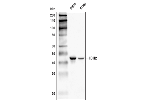 Western blot analysis of extracts from MCF7 and ACHN cells using IDH2 (D8E3B) Rabbit mAb.
