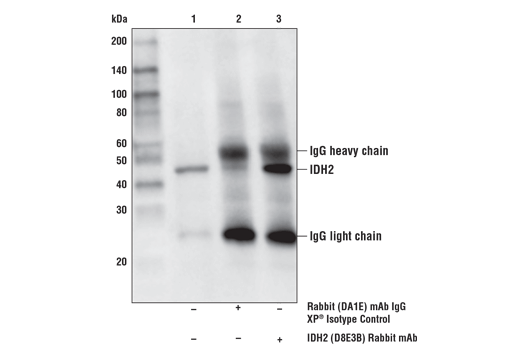 Immunoprecipitation of IDH2 from Hep G2 cell extracts. Lane 1 is 10% input, lane 2 is Rabbit (DA1E) mAb IgG XP<sup>®</sup> Isotype Control #3900, and lane 3 is IDH2 (D8E3B) Rabbit mAb. Western blot analysis was performed using IDH2 (D8E3B) Rabbit mAb.