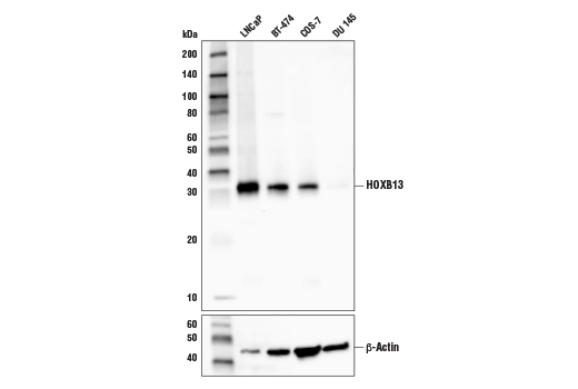 Western blot analysis of extracts from various cell lines using HOXB13 (D7N8O) Rabbit mAb.