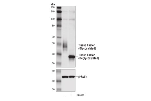 Western blot analysis of extracts from MDA-MB-231 cells, untreated (-) or treated with PNGase F (+), using Tissue Factor/CD142 Antibody (upper) and β-Actin (D6A8) Rabbit mAb #8457 (lower).