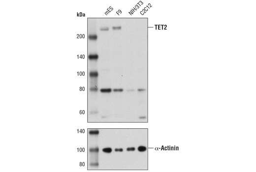 Western blot analysis of extracts from various cell lines using TET2 (D9K3E) Rabbit mAb (Mouse Specific) (upper) and α-Actinin (D6F6) XP<sup>®</sup> Rabbit mAb #6487 (lower). As expected, mES and F9 cells are positive for TET2 expression, while NIH/3T3 and C2C12 cells are negative.