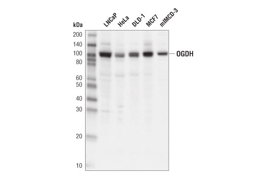 Western blot analysis of extracts from various cell lines using OGDH (E1W8H) Rabbit mAb.