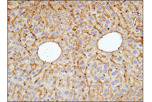 Immunohistochemical analysis of paraffin-embedded mouse liver using EGF Receptor (D1P9C) Rabbit mAb (Mouse Preferred).