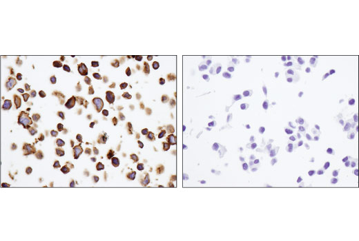Imunohistochemical analysis of paraffin-embedded RL-7 cell pellets (left, positive) or MCF7 cell pellets (right, negative) using CD40 (D8W3N) Rabbit mAb.