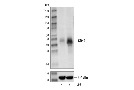 Western blot analysis of extracts from THP-1 cells, untreated (-) or LPS-treated (100 ng/ml, 8hr; +), using CD40 (D8W3N) Rabbit mAb (upper) or β-actin (D6A8) Rabbit mAb #8457 (lower).