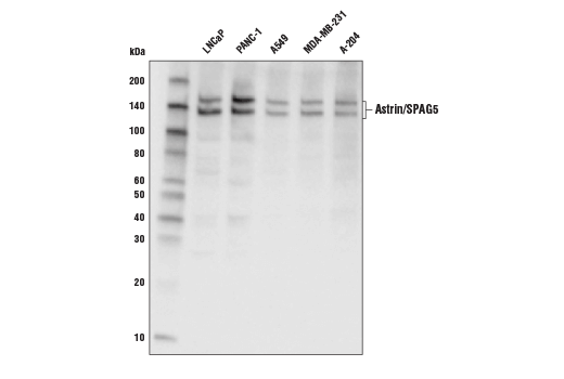 Western blot analysis of extracts from various cell lines using Astrin/SPAG5 Antibody.