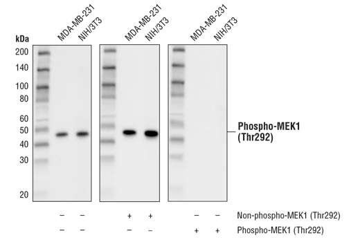 Western blot analysis of extracts from MDA-MB-231 and NIH/3T3 cells using Phospho-MEK1 (Thr292) (D5L3K) Rabbit mAb. The phospho-specificity of the antibody was verified by pre-incubating the antibody with no peptide (left), MEK1 (Thr292) non-phosphopeptide (center), and MEK1 (Thr292) phosphopeptide (right).