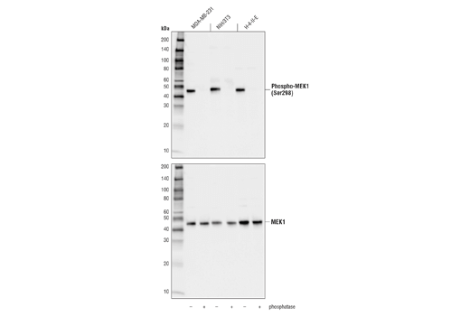 Western blot analysis of extracts from MDA-MB-231, NIH/3T3, and H-4-II-E cells, either untreated (-) or treated with phosphatase (+), using Phospho-MEK1 (Ser298) (D1P9E) Rabbit mAb (upper) or MEK1 (D2R1O) Rabbit mAb #12671 (lower).