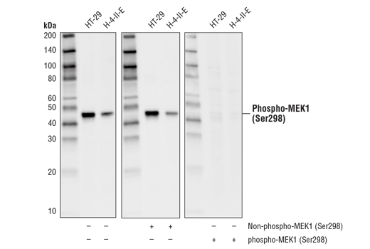 Western blot analysis of extracts from HT-29 and H-4-II-E cells using Phospho-MEK1 (Ser298) (D1P9E) Rabbit mAb. The phospho-specificity of the antibody was verified by pre-incubating the antibody with no peptide (left), MEK1 (Ser298) non-phosphopeptide (center), and MEK1 (Ser298) phosphopeptide (right).