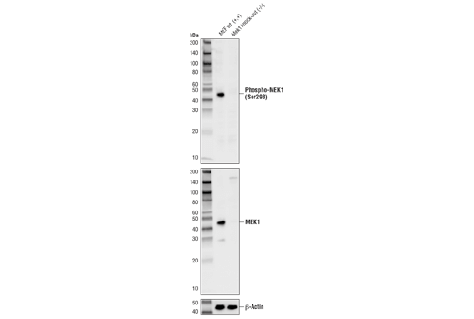 Western blot analysis of extracts from MEF cells, either wild-type (+/+) or <i>Mek1</i> knock-out (-/-), using Phospho-MEK1 (Ser298) (D1P9E) Rabbit mAb (upper), MEK1 (D2R1O) Rabbit mAb #12671 (middle), and β-Actin (D6A8) Rabbit mAb #8457 (lower). Mek1 KO MEFs were generously provided by Dr. Jean Charron, Centre de recherche du Centre hospitalier de l'Université Laval, Quebec, Canada.