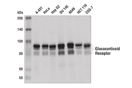 Western blot analysis of extracts from various cell lines using Glucocorticoid Receptor (D4X9S) Mouse mAb.