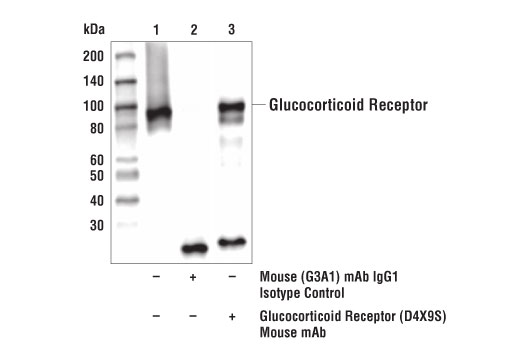 Immunoprecipitation of glucocorticoid receptor from A549 cell extracts. Lane 1 is 10% input, lane 2 is Mouse (G3A1) mAb IgG1 Isotype Control #5415, lane 3 is Glucocorticoid Receptor (D4X9S) Mouse mAb. Western blot analysis was performed using Glucocorticoid Receptor (D4X9S) Mouse mAb.