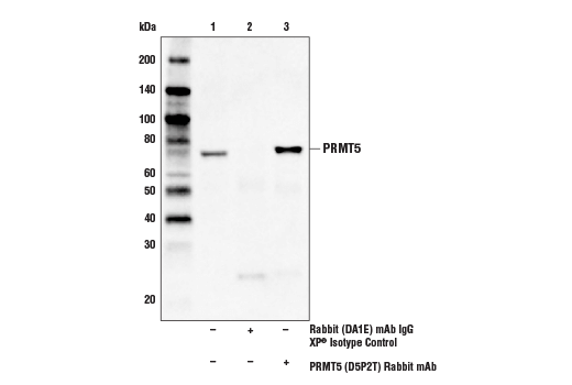 Immunoprecipitation of PRMT5 from HeLa cell extracts. Lane 1 is 10% input, lane 2 is Rabbit (DA1E) mAb IgG XP<sup>®</sup> Isotype Control #3900, and lane 3 is PRMT5 (D5P2T) Rabbit mAb. Western blot analysis was performed using PRMT5 (D5P2T) Rabbit mAb.