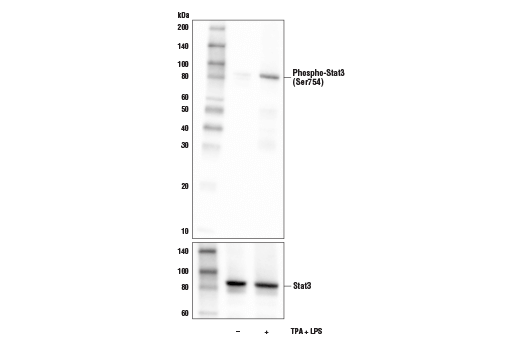 Western blot analysis of extracts or media collected from THP-1 cells, differentiated with TPA (12-0-Tetradecanoylphorbol-13-Acetate) #4174 (80 nM, overnight), and subsequently treated with (+) or without (-) Lipopolysaccharides (LPS) #14011 (1 μg/ml, 15 min), using Phosho-Stat3 (Ser754) Antibody (upper) or Stat3 (D3Z2G) Rabbit mAb #12640 (lower).