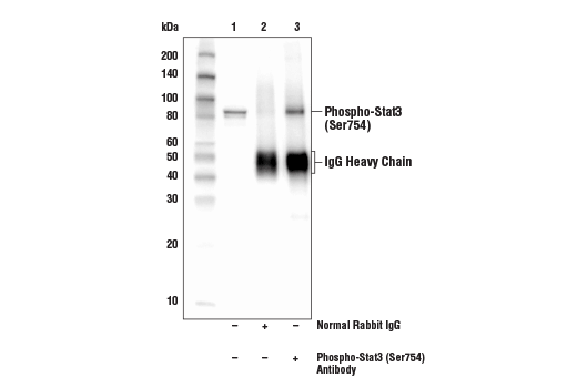Immunoprecipitation of Phospho-Stat3 (Ser754) from extracts of THP-1 cells, differentiated with TPA (12-0-Tetradecanoylphorbol-13-Acetate) #4174 (80 nM, overnight) followed by treatment with Lipopolysaccharides (LPS) #14011 (1 μg/ml, 15 min). Lane 1 is 10% input, lane 2 is Normal Rabbit IgG #2729, and lane 3 is Phospho-Stat3 (Ser754) Antibody. Western blot was performed using Phospho-Stat3 (Ser754).