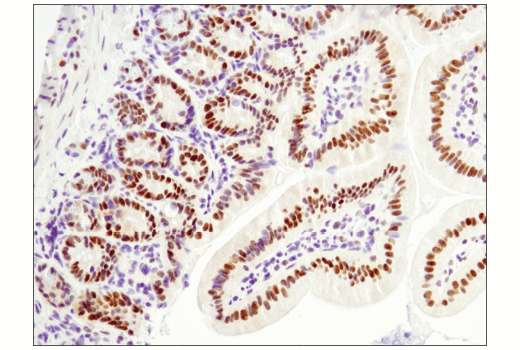 Immunohistochemical analysis of paraffin-embedded mouse small intestine using LRF/Pokemon (D7U2O) Rabbit mAb.