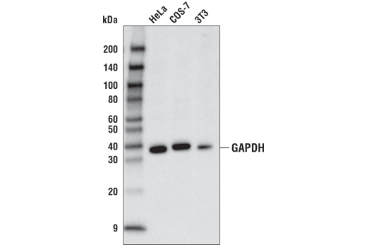 Western blot analysis of extracts from HeLa, COS-7, and 3T3 cell lines using GAPDH (D4C6R) Mouse mAb (HRP Conjugate).