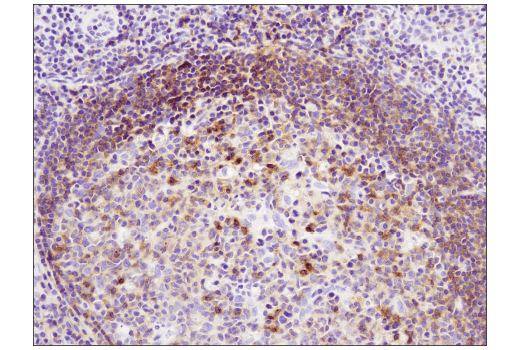 Monoclonal Antibody - CXCR5 (D6L3C) Rabbit mAb (IHC Specific), UniProt ID P32302, Entrez ID 643 #72172, Cd Markers