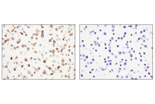 Immunohistochemical analysis of paraffin-embedded Daudi cell pellets (left, positive) and Jurkat cell pellets (right, negative) using CXCR5 (D6L3C) Rabbit mAb (IHC Specific).