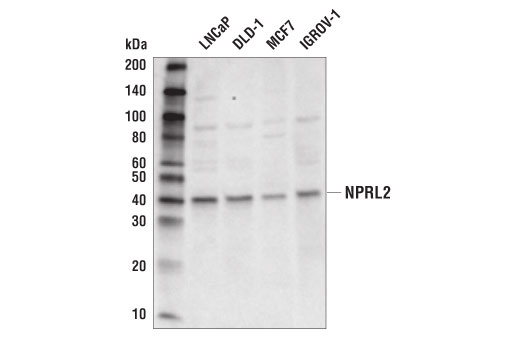Rat Negative Regulation of Kinase Activity - count 20
