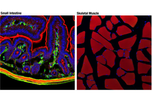 Confocal immunofluorescent analysis of mouse small intestine (left) or skeletal muscle (right) using α-Smooth Muscle Actin (1A4) Mouse mAb (IF Formulated) (green). Actin filaments were labeled with DyLight™ 554 Phalloidin #13054 (red). Blue pseudocolor = DRAQ5<sup>®</sup> #4084 (fluorescent DNA dye).