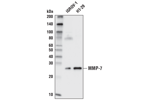 Western blot analysis of extracts from concentrated culture medium of IGROV-1 and HT-29 cell lines using MMP-7 Antibody.