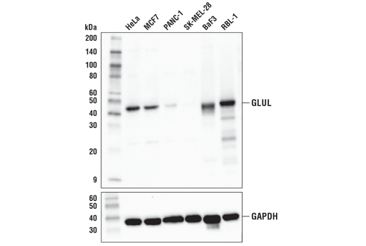 Western blot analysis of extracts from various cell lines using GLUL (D2O3F) Rabbit mAb (upper) or GAPDH (D16H11) XP<sup>®</sup> Rabbit mAb #5174 (lower).